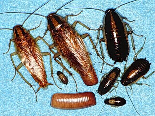 Уничтожение тараканов дезинсекция - фото 2