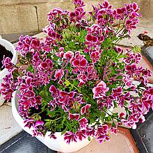 Bekswell Banansa/ подрощенное растение