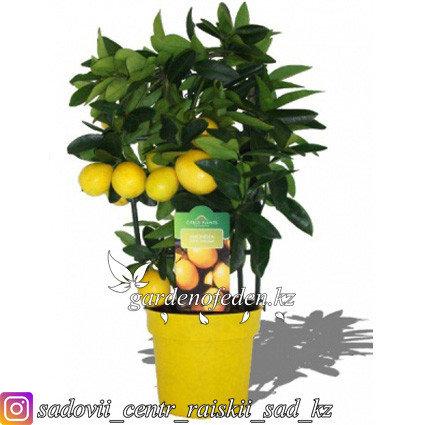 """Цитрус """"Лимонелла"""" Высота 30см., фото 2"""