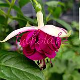 DDFGG / подрощенное растение, фото 2