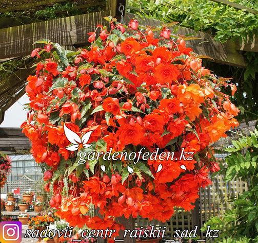 """Профессиональные семена. Бегония """"Illumination Orange (tuberhybrida)"""", фото 2"""
