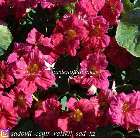 """Профессиональные семена. Настурция """"Top Flowering Double Cherry Rose"""", фото 2"""
