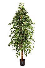 Фикус бенджамина пестрый натуральный (высота - 180см)