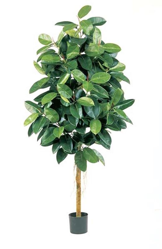 Фикус эластика зеленый (высота - 150см)