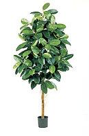 Фикус эластика зеленый (высота - 180см)