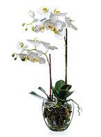 Орхидея фаленопсис белая, с мхом, корнями, землей (высота - 60см)