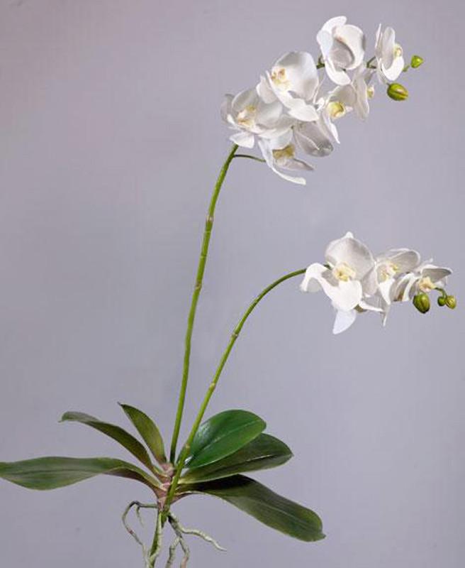 Орхидея фаленопсис куст белая с корнями (высота - 82см)