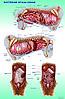 Плакаты Анатомия собак