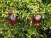 Гранат крупноплодный с черными плодами сорт восьмой шар, фото 2