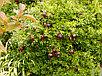 Гранат крупноплодный с черными плодами сорт восьмой шар, фото 3