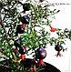 Гранат крупноплодный с черными плодами сорт восьмой шар, фото 4