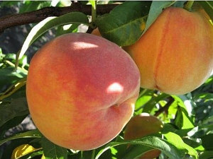 Персик сорт Никитский