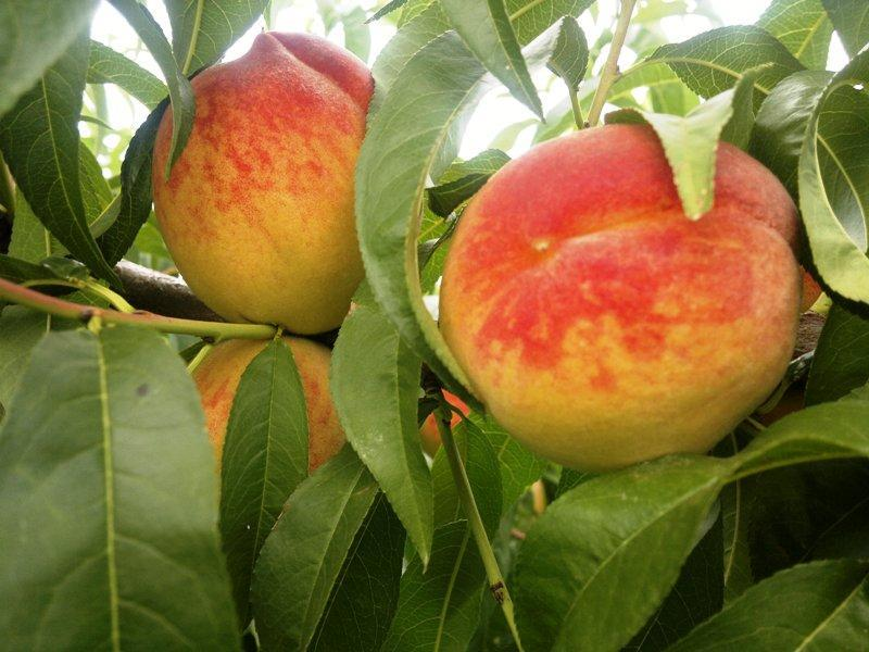 Персик сорт Радужный 86