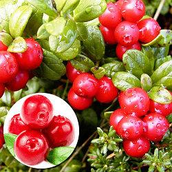 Клюква садовая сорт Ред Стар Red Star