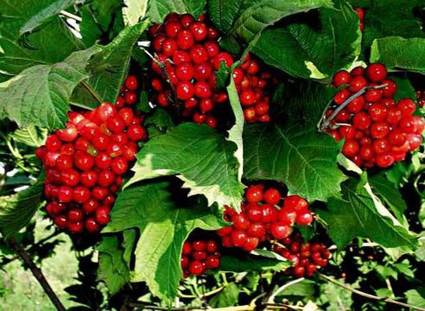 Калина садовая красная сорт Красная гроздь