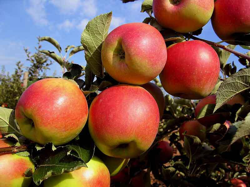 Яблоня сорт Джонаголд