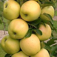 Яблоня Колоновидная сорт Медок