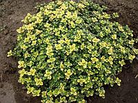 Тимьян цитрусопахнущий сорт Лимон