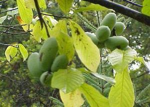 Азимина трилоба банановое дерево сорт Prima 1216