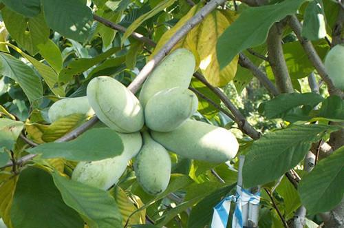 Азимина трилоба банановое дерево сорт Taytwo