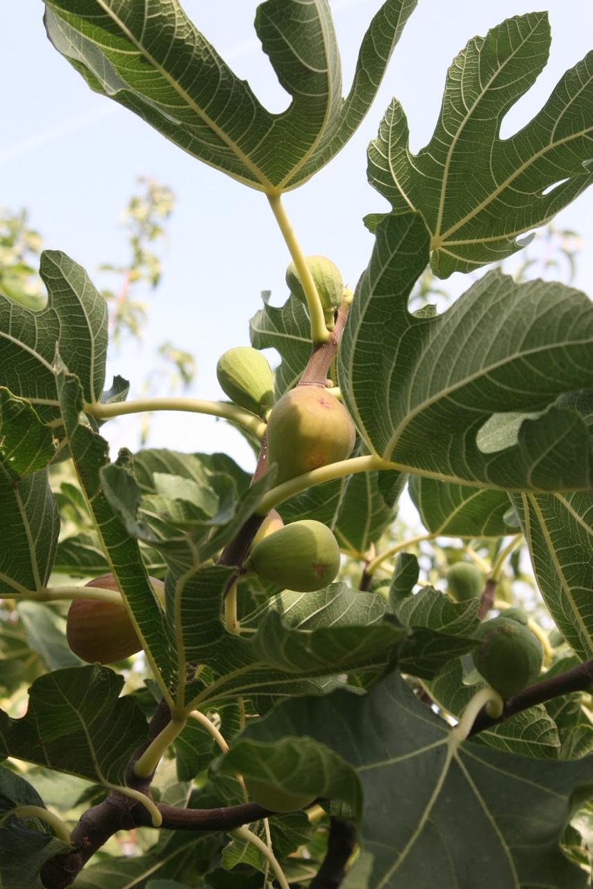Инжир Ficus carica сорт Финиковый неаполитанский