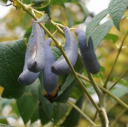 Декенея Фаргеза синее сосисочное дерево