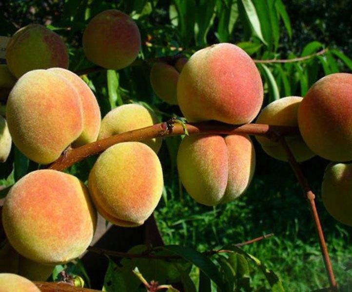 Персик сорт Сибиряк