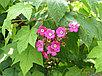Малина душистая Малиноклен сорт Калифорния, фото 4