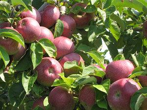 Яблоня сорт Блек макинтош