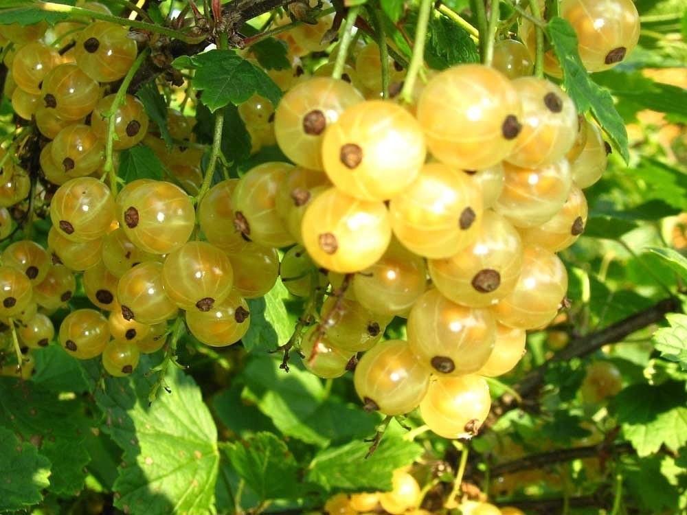 Смородина сорт белая Урожайная