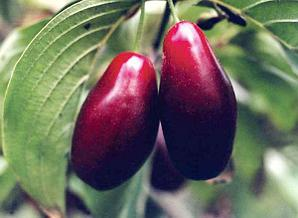 Кизил крупноплодный сорт Абхазский грушевидный