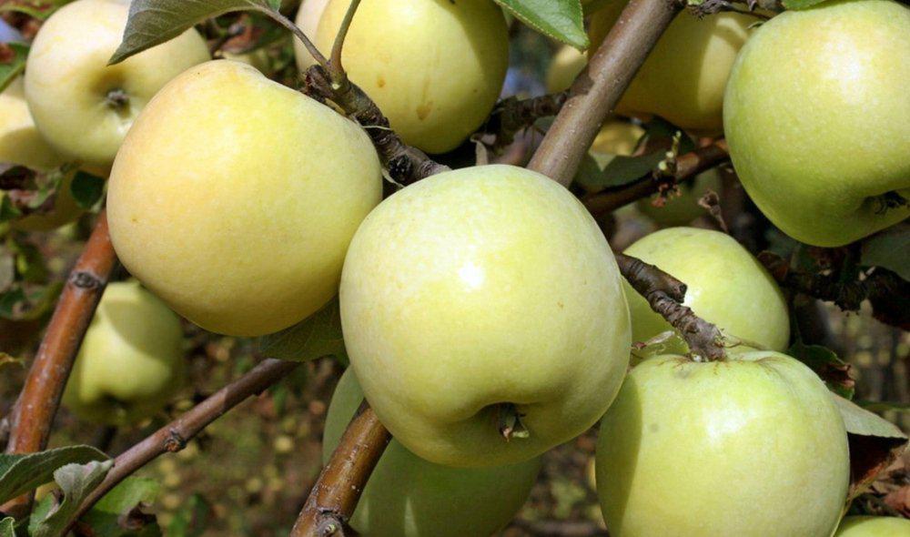 Яблоня сорт Антоновка