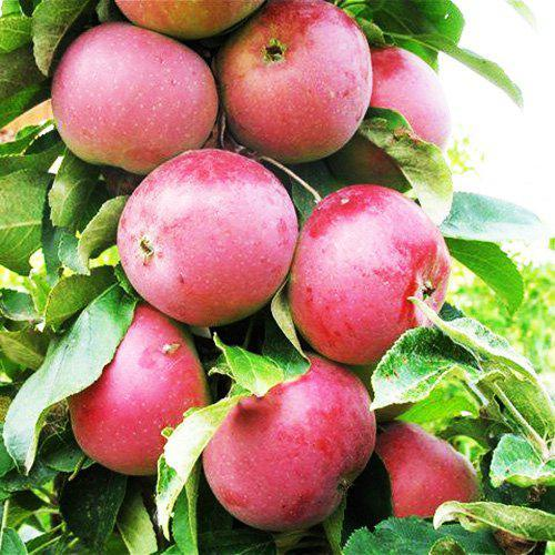 Яблоня Колоновидная сорт Червонец