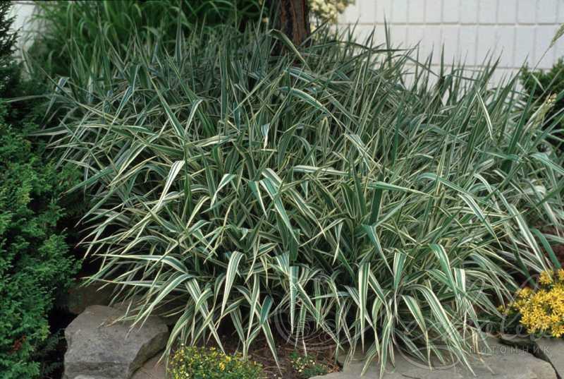 Фалярис двукисточник тростниковый сорт Picta
