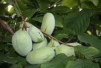 Азимина трилоба банановое дерево сорт IXL
