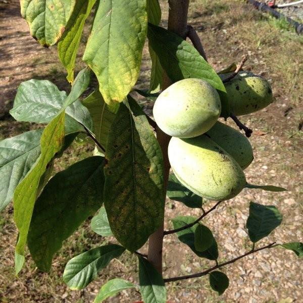 Аннона Азимина трилоба банановое дерево сорт NC-1