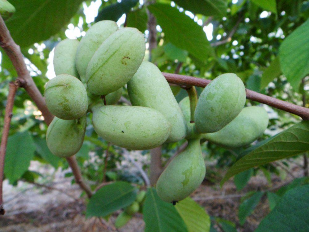 Азимина трилоба банановое дерево сорт Overleese