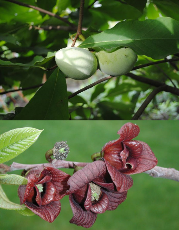 Азимина трилоба банановое дерево сорт Surprise