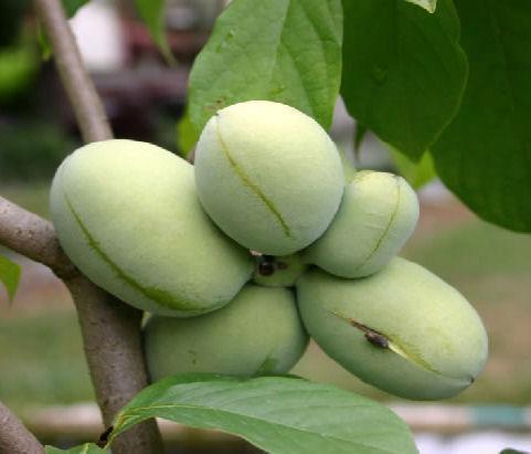 Азимина трилоба банановое дерево сорт Wells Delight