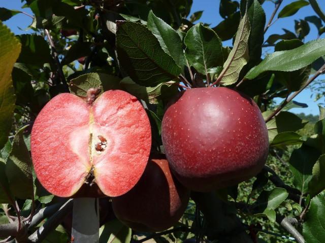 Яблоня с красной мякотью сорт Тринити