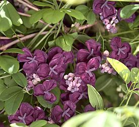 Акебия пятилистная или шоколадная лиана Akebia Quinаta сорт Purple Rose