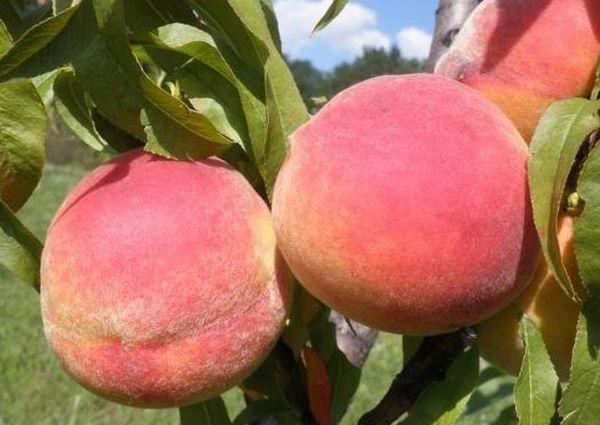 Персик сорт Фрост