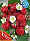Земляника крупноплодная Фламберри со вкусом малины, фото 2