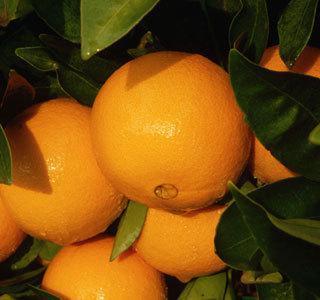 Апельсин сорт Валенсия