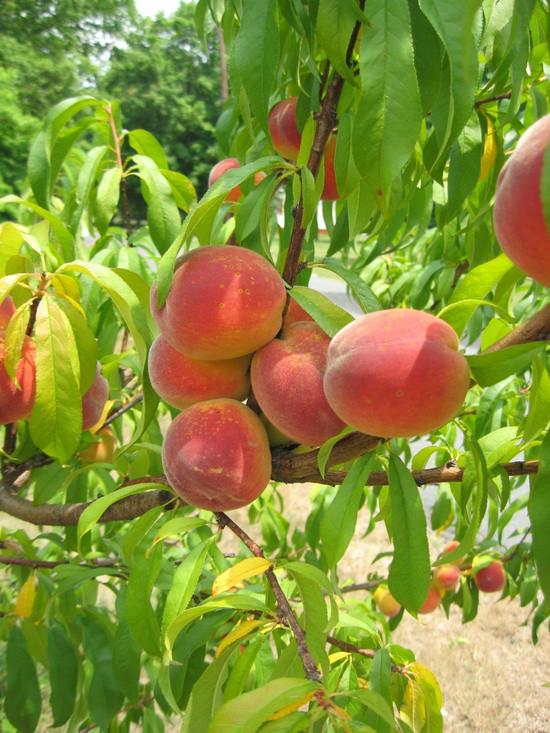 Персик сорт Золотой Юбилей