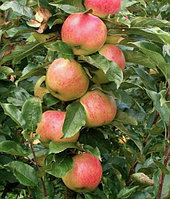Яблоня Колоновидная сорт Валюта