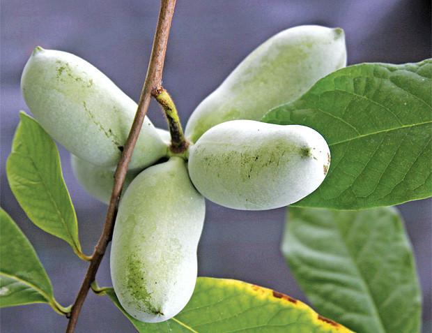 Азимина трилоба банановое дерево сорт Belle