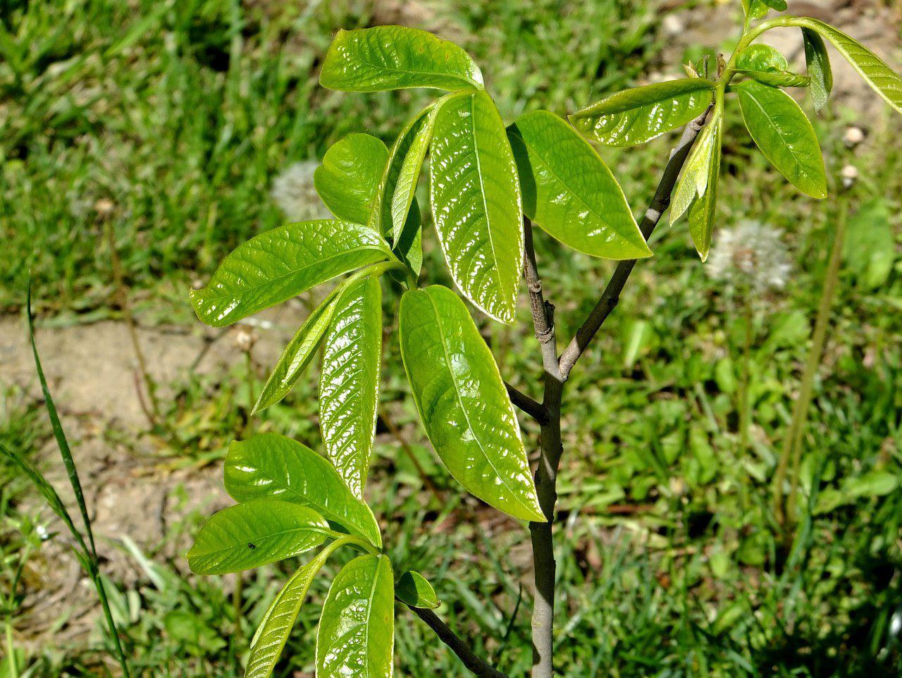 Азимина трилоба банановое дерево сорт Sibley