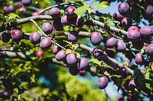 Сливово-вишневый гибрид сорт Бета