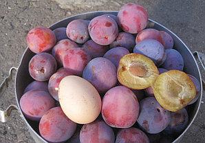 Сливово-вишневый гибрид сорт Самоцвет